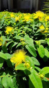 piante certosa di padula