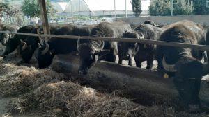visita al caseificio e allevamento di bufala con degustazione della mozzarella parco di velia paestum